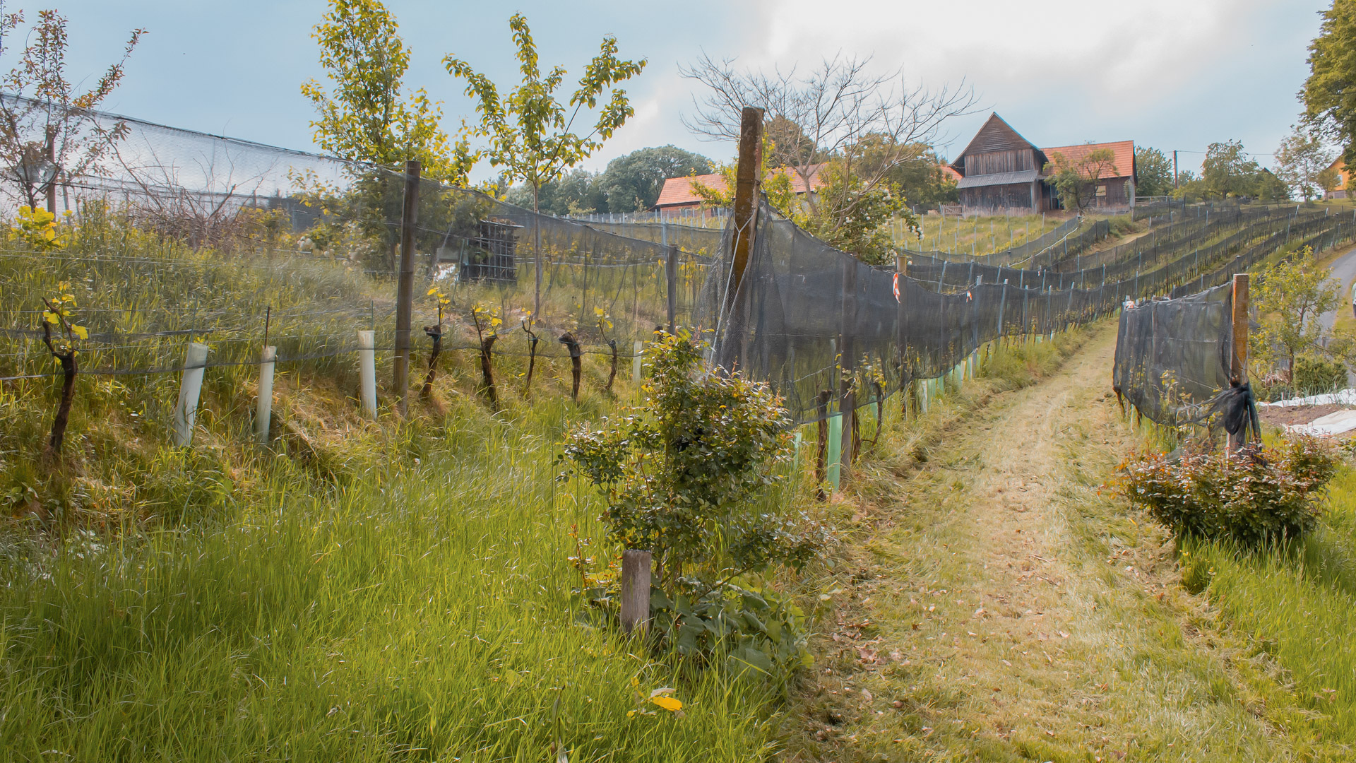 Junge Weinreben am Weingut Ploder-Rosenberg.